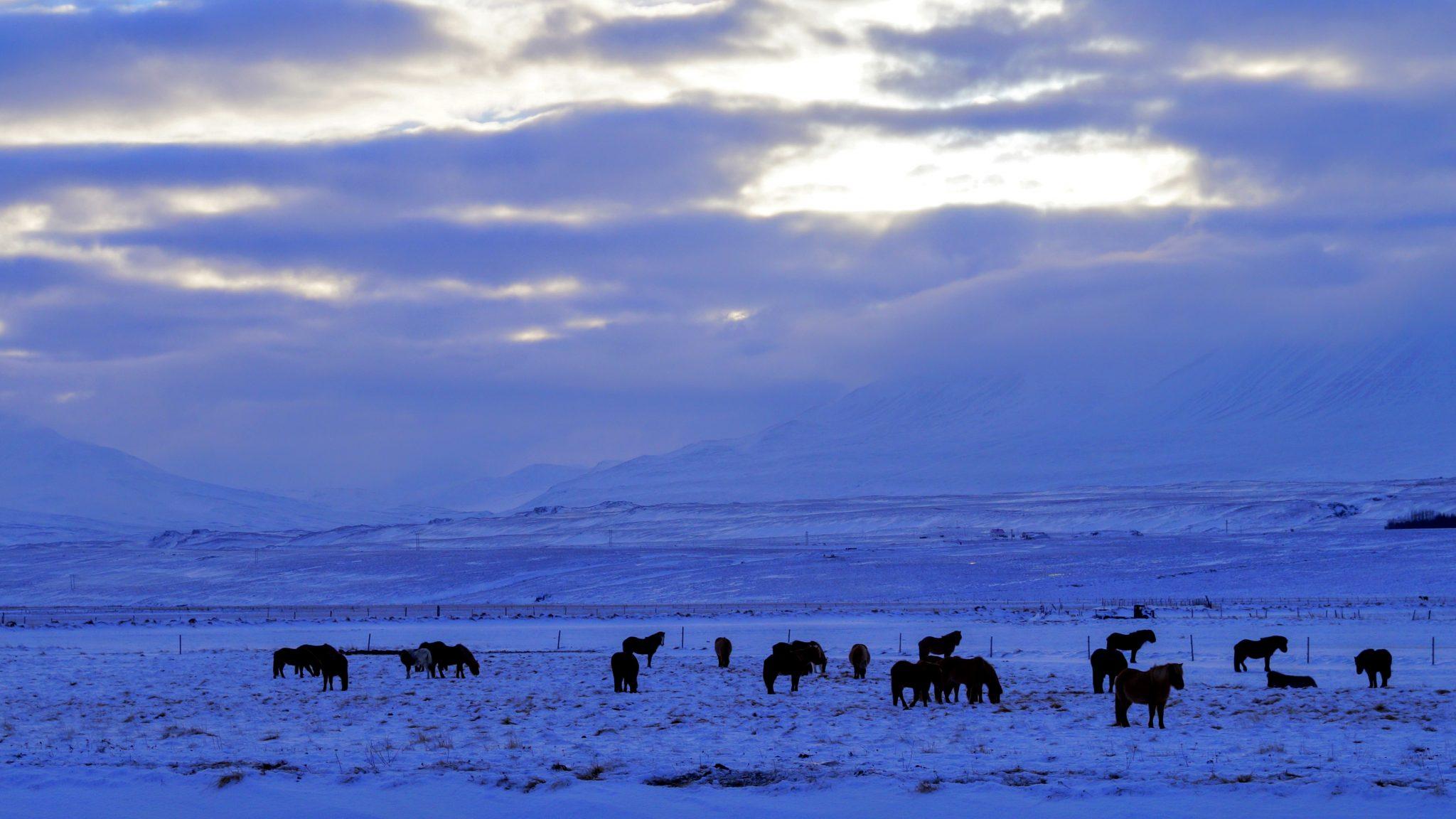 Icelandic Horses Skagafjordur