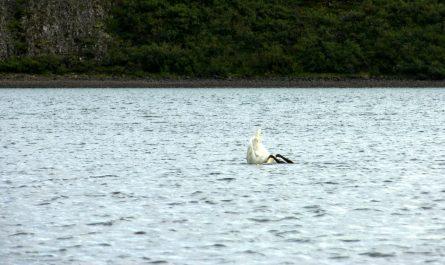 Swan Diving in Hredavatn Borgarfjordur