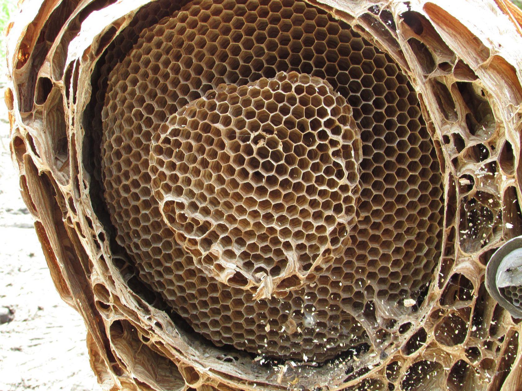 Hornet Nest Inside