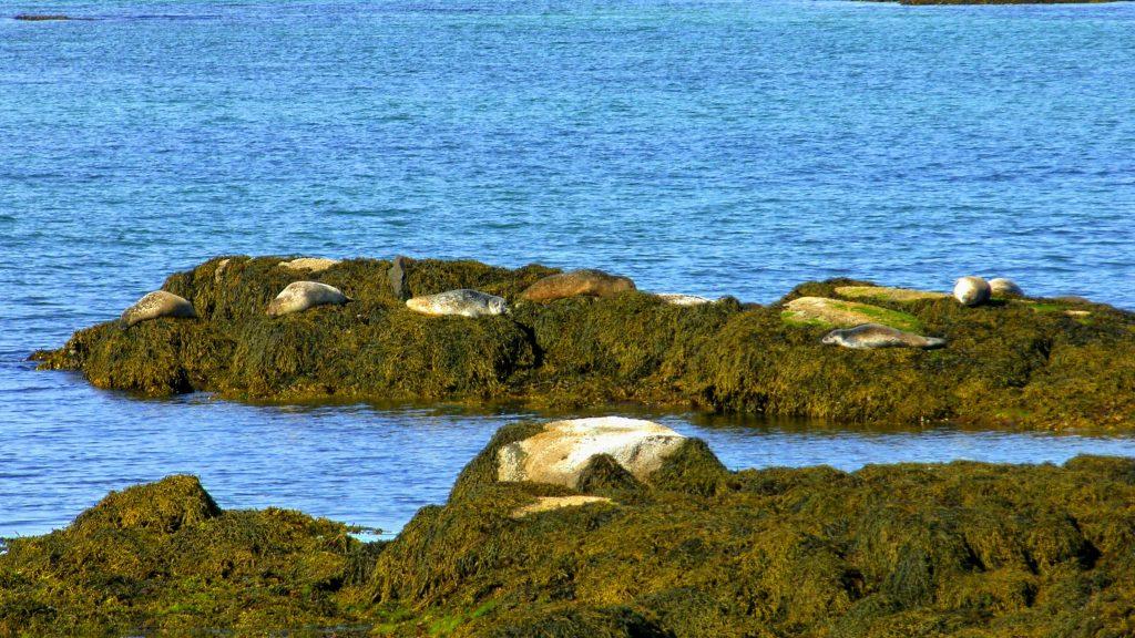Seals Skotufjordur - Westfjords