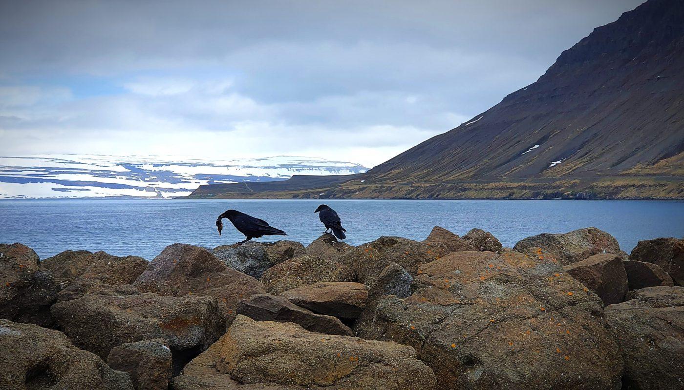 Raven Feast On Shore